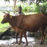 Sennathur - Doccia alla nostra mucca