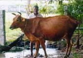 Sennathur – Le mucche